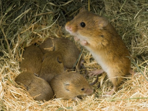 mother-mouse-with-babies